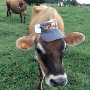 dairy cow with a hat